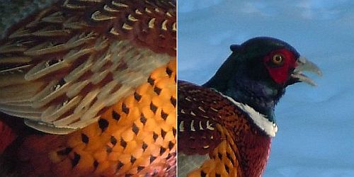 pheasant feathers and portrait