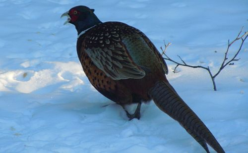pheasant on snow