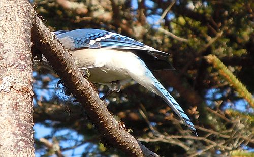blue jay back and tail