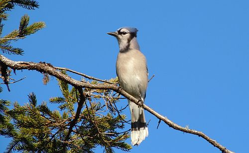 blue jay on spruce