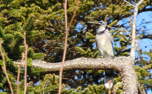 blue jay with twig in beak
