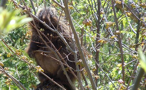 porcupine eating maple