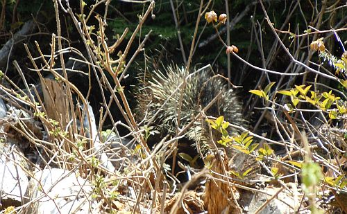 porcupine heading into bush