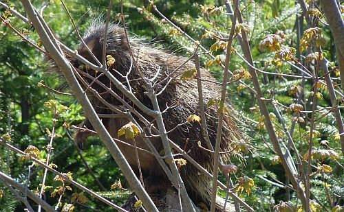 porcupine in sunlight