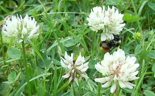 bumblebee in field of clover