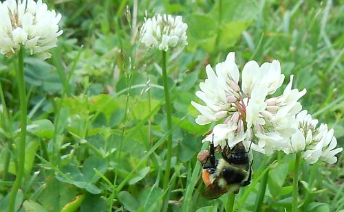 bumblebee showing pollen basket on clover