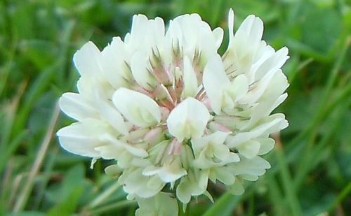 clover floret