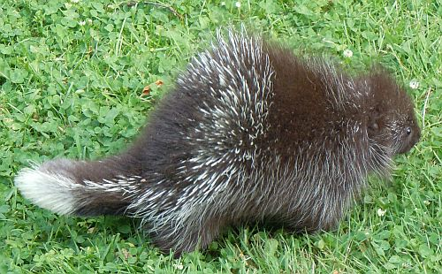 porcupine side view