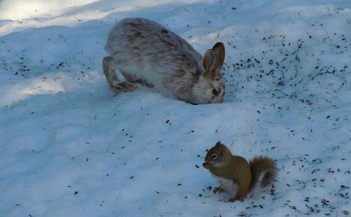 snowshoe hare and red squirrel