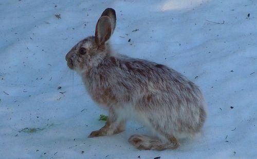 snowshoe hare in spring coat