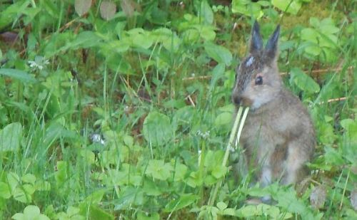 young hare eating dandelion