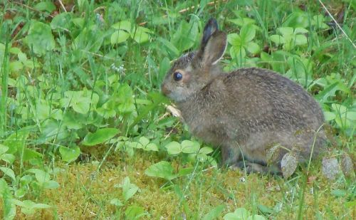 young snowshoe hare in late spring