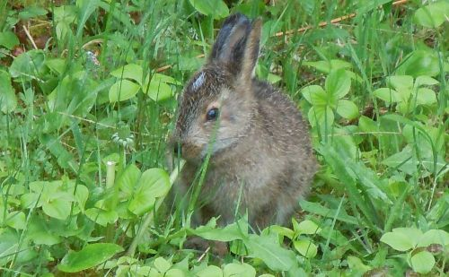 young snowshoe hare